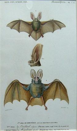 Cheiropteres 1. Oreillard, 2. Megaderme - Product Image