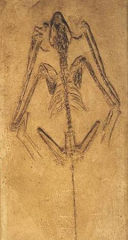 Fossil Bat Skeleton Casting - Icaronycteris index - Product Image