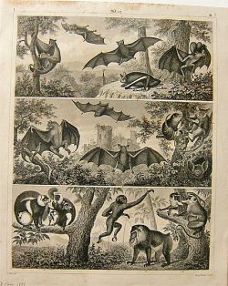 G. Heck 1851 Bats and Mammals  Print - Product Image