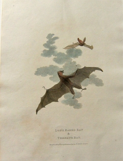James Tookey engraving Long Eared & Ternate Bat - Product Image