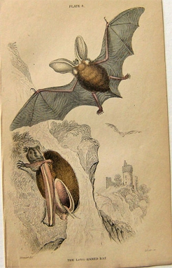 Lizars: The Long-Eared Bat - Product Image