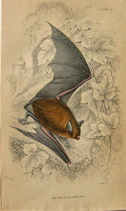 Lizars: The Reddish Grey Bat - Product Image