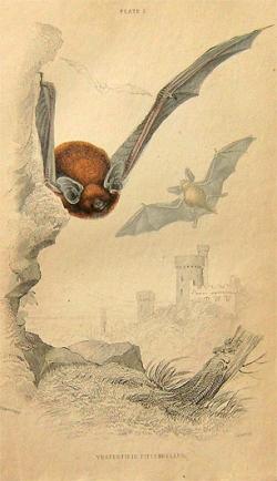 Lizars: Vesertilio Pipistrellus - Product Image