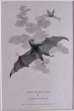 Long Eared Bat & Ternate Bat - Product Image
