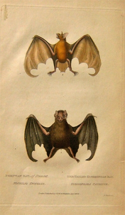 W.B. Whitaker Peruvian Bat, The Tailed Glossophag Bat - Product Image