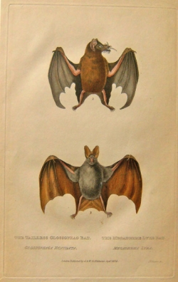 W.B. Whitaker The Tailles Glossophag Bat, The Megaderme Lyre Bat - Product Image