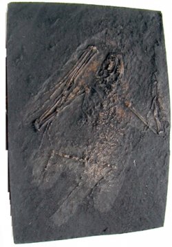Fossil Bat Skeleton Casting - Paleochiropterix tupainodon, Messel bat, small - Product Image